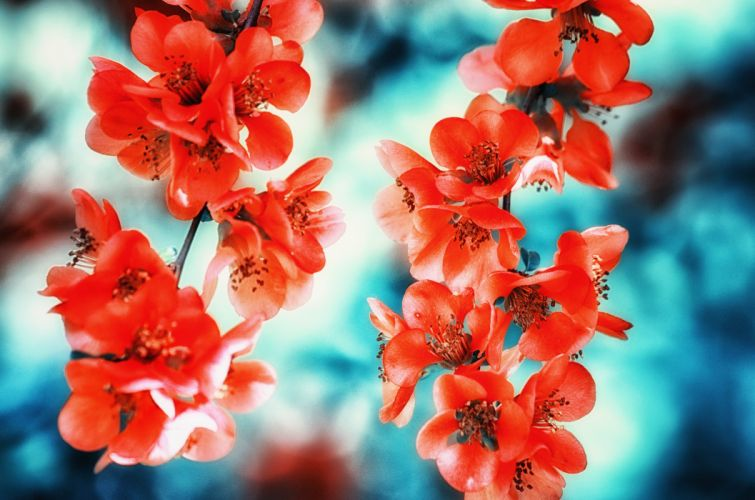 Chaenomeles Japonica Japanese Quince Quince Blossom Bloom Spring Bokeh flower wallpaper