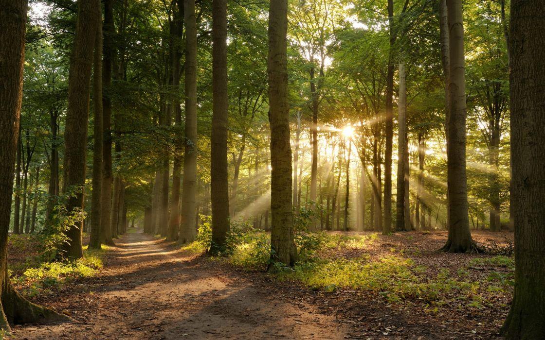 Sunbeam sun sunlight forest tree mood wallpaper