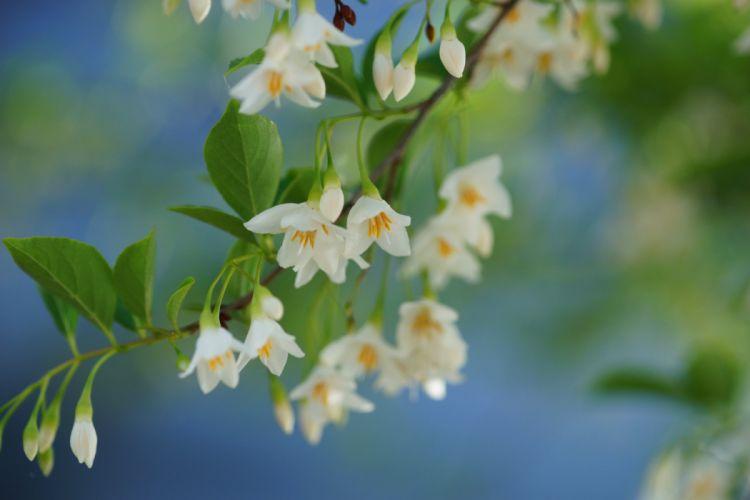 Bokeh Spring Blossom Styrax Styrax Blossom wallpaper