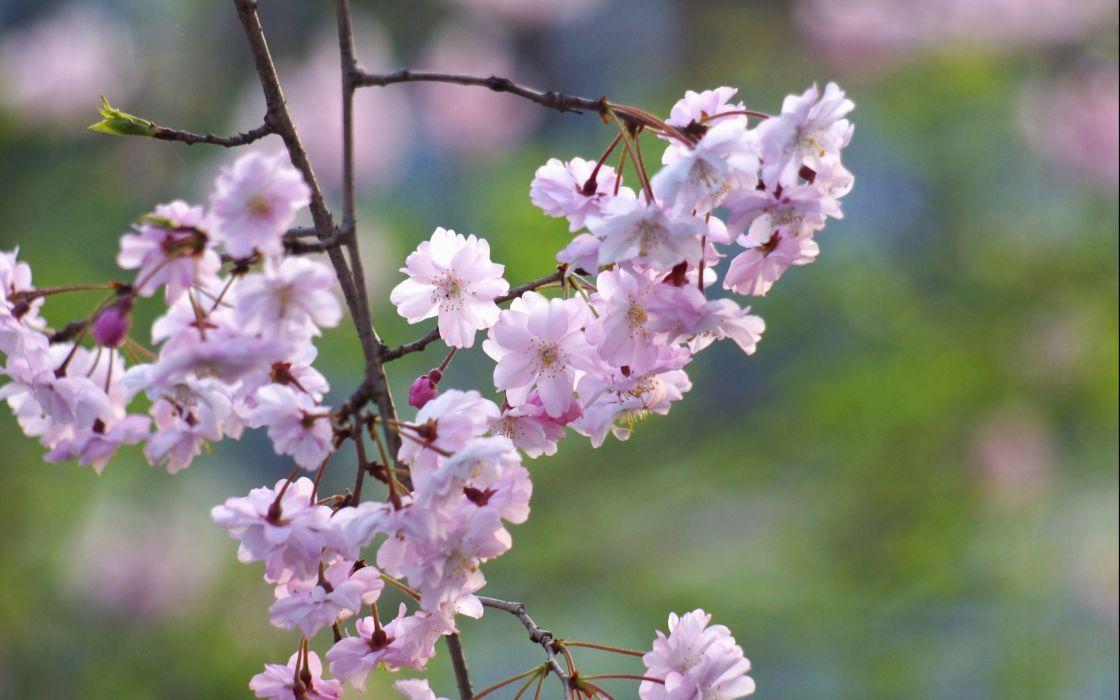 Bokeh Spring Prunus Blossom Prunus wallpaper
