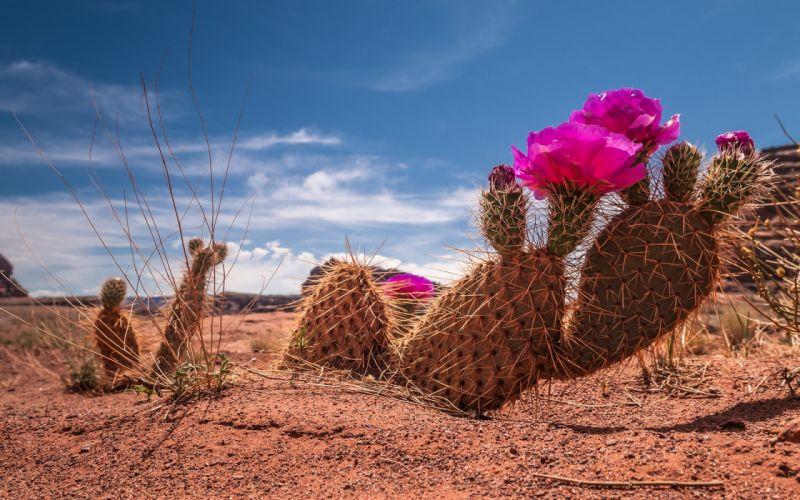 Cactus flower bokeh desert plant nature landscape f wallpaper