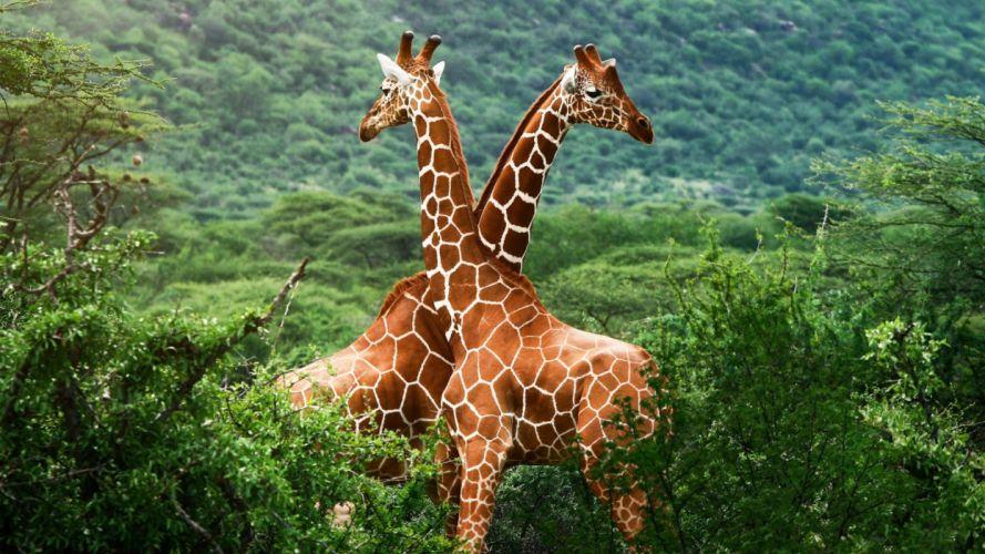 jirafas animales savana africa wallpaper