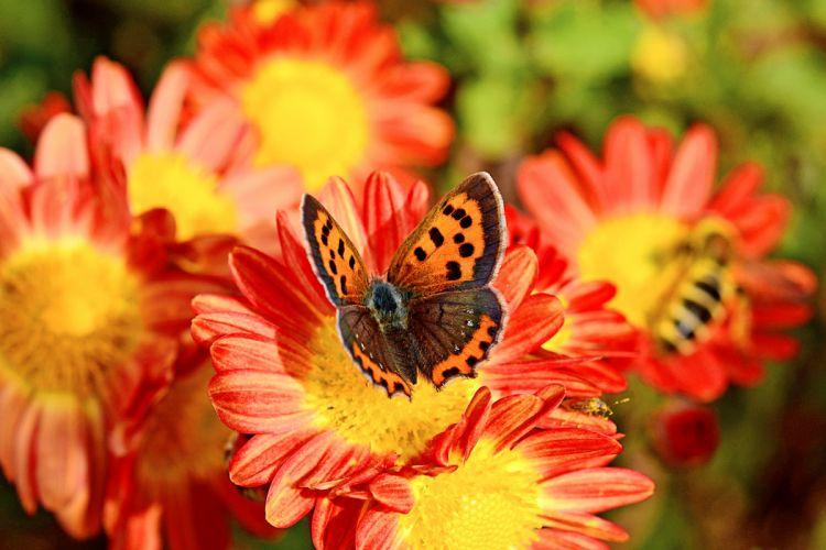 Bokeh Bee Macro Flower Butterfly Chrysanthemun wallpaper