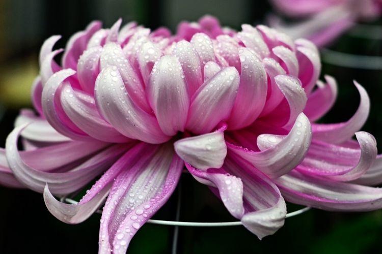 Bokeh Macro Flower Raindrop Chrysanthemun drops wallpaper