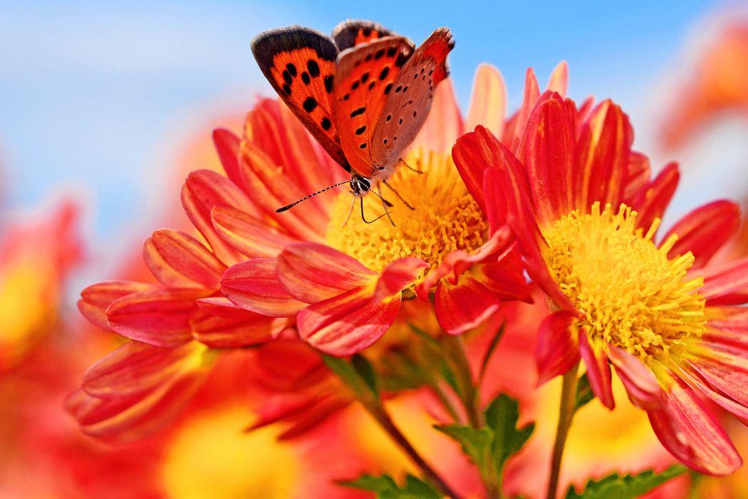 Bokeh Macro Butterfly Chrysanthemun wallpaper