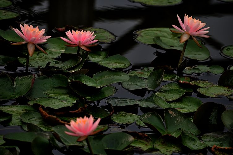 Flower Water Lily Nature Drops Leaf lake pond wallpaper