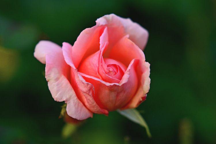 Macro Flower Bloom Rose wallpaper