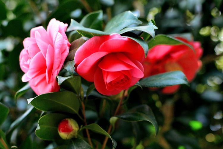 Macro Spring Bloom Flower Camellia wallpaper
