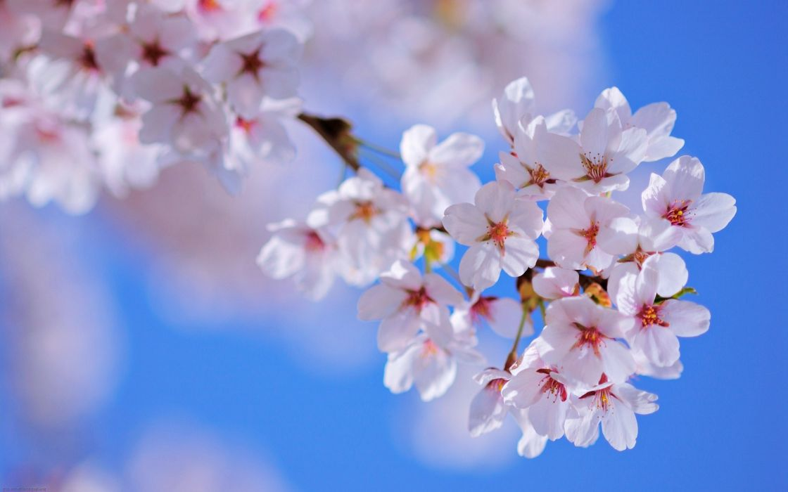 Spring flower wallpapers mightylinksfo Choice Image