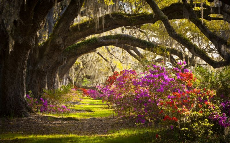 outh Carolina Azalea Flower Landscape Charleston Magnolia Plantation Magnolia wallpaper