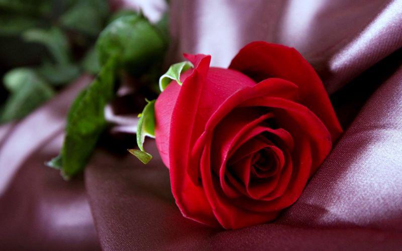 Spring Flower Red Flower Rose Red Rose wallpaper