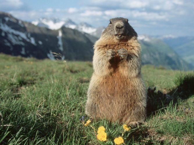 marmota roedor animal wallpaper