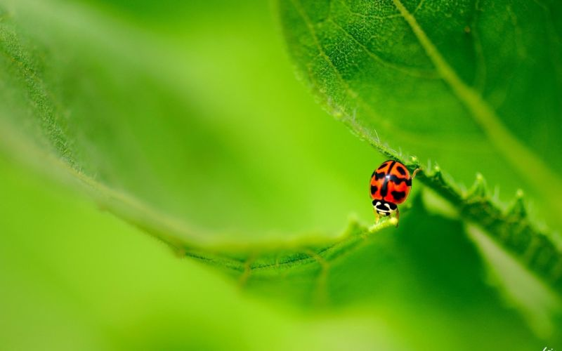 Lady Bug Green Leaves wallpaper