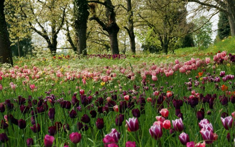 Tulips Meadow Grass Trees Park Recreation wallpaper