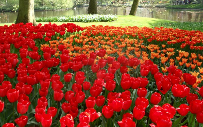 Tulips Flowers Herbs Trees Nature Pond Beautiful wallpaper