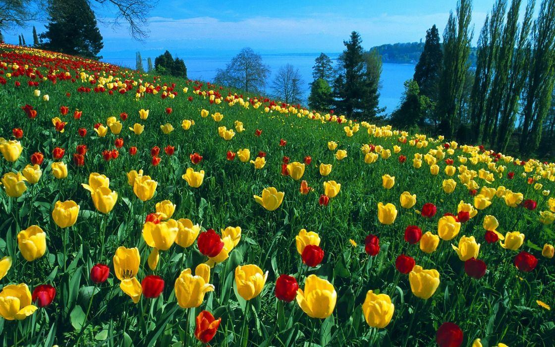 Tulips Flowers Grass Slopes Trees Horizon River Beauty wallpaper