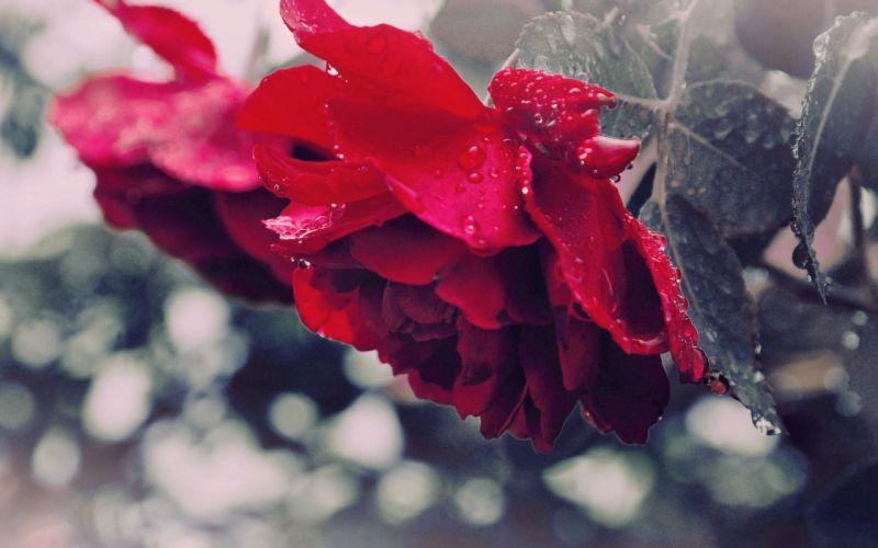 Rose Drops Dew Flower Petals wallpaper