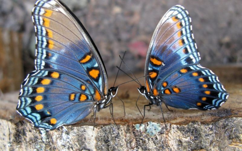 Butterfly Couple Wings Insect wallpaper