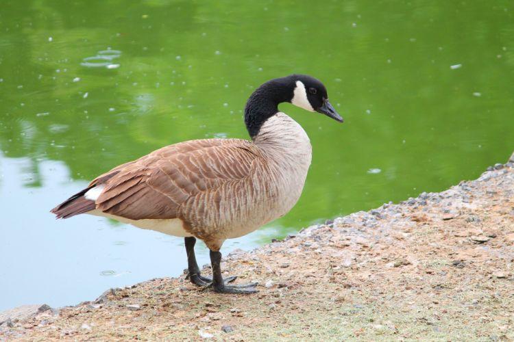 duck bird water wallpaper