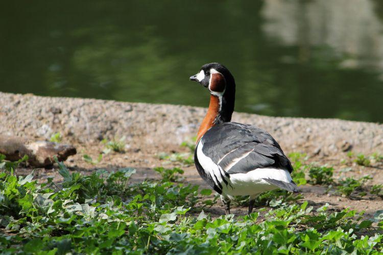 Red-breasted Goose Branta ruficollis bird wallpaper