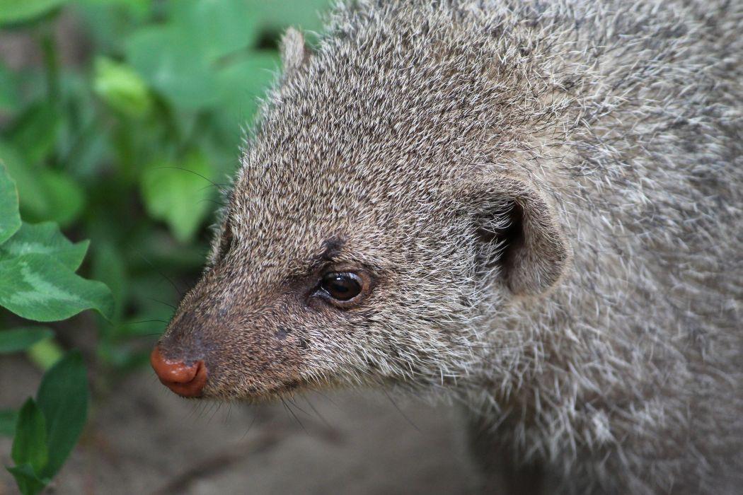 mongoose animal nose head eyes portrait wallpaper