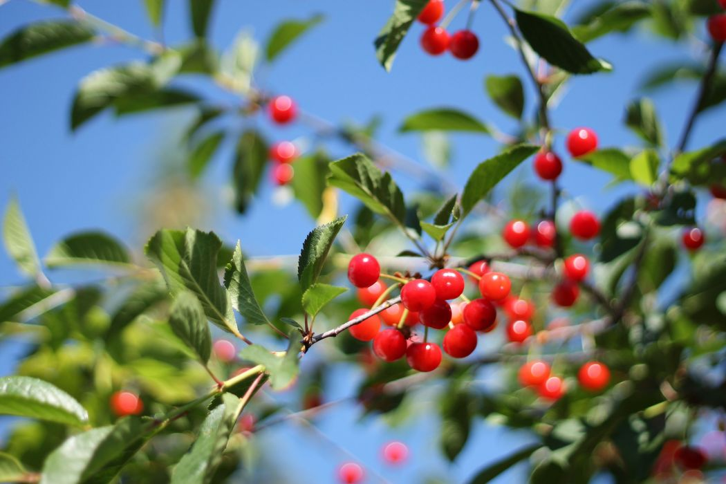 cherry leaves berries sunlight branch wallpaper
