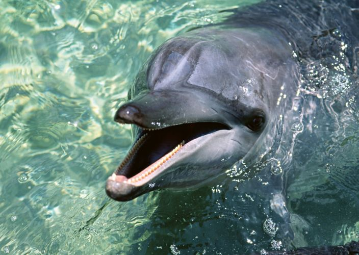 Dolphin Water Face Cute Sleek Playful wallpaper