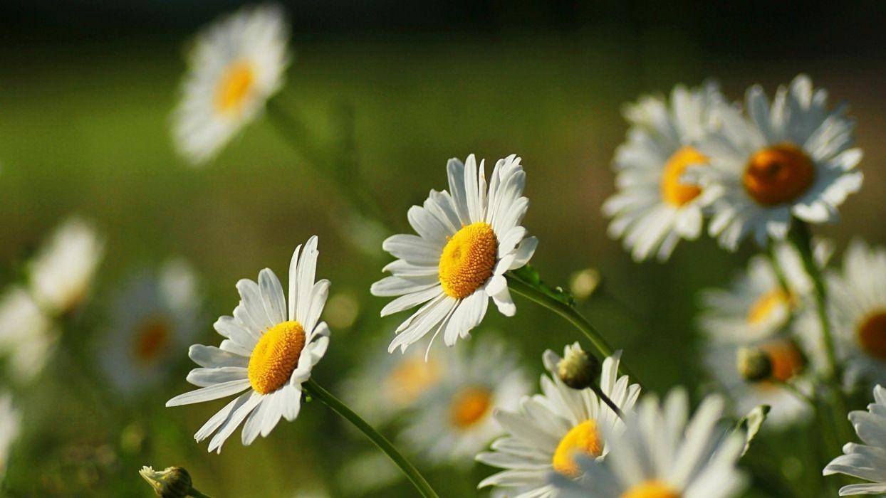 daisy flower summer beauty nature wallpaper