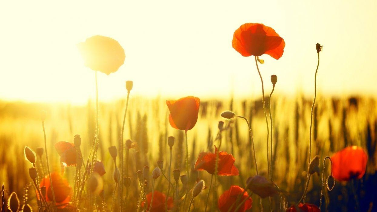 poppy flower beautiful nature sunshine wallpaper