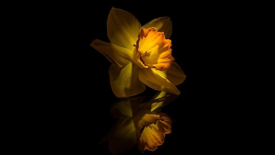 yellow flower narcissus wallpaper