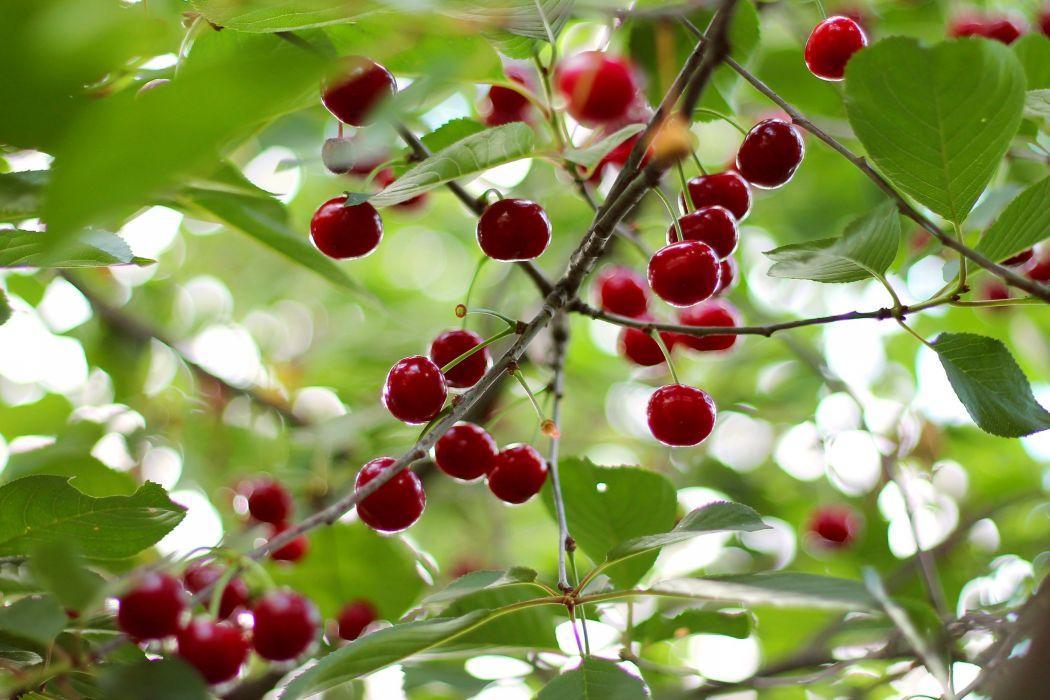 cherry berries tasty delicious leaves tree summer wallpaper