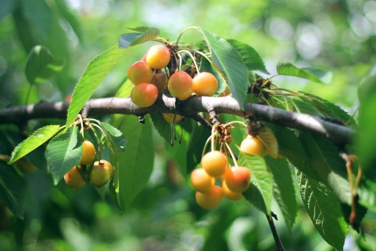 merry berries tasty delicious leaves tree summer wallpaper