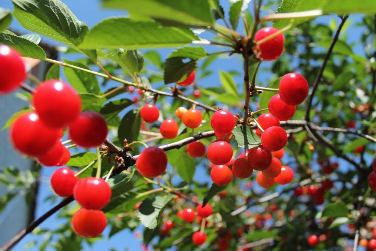 cherry berries tasty delicious leaves tree summer wallpaper