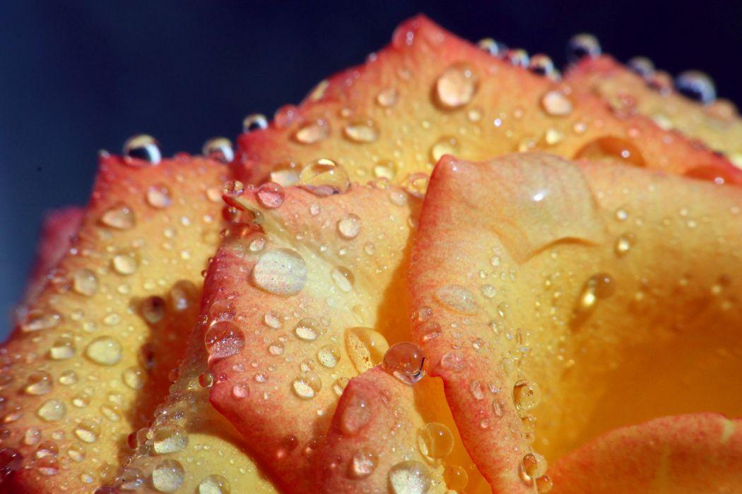 rose flower tenderness drops petals water macro wallpaper