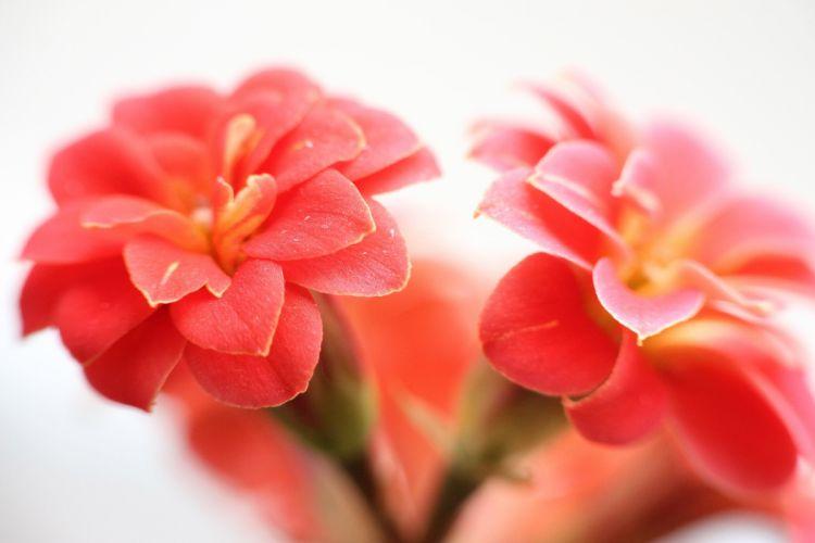 kalanchoe flower tenderness petals macro white background wallpaper