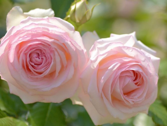 rose flower beautiful nature pink wallpaper