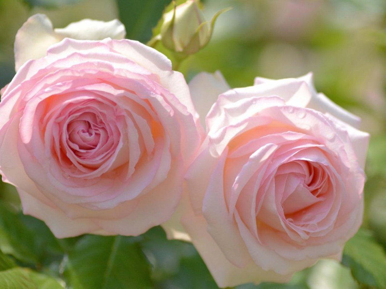 Rose Flower Beautiful Nature Pink Wallpaper 1440x1080 744330