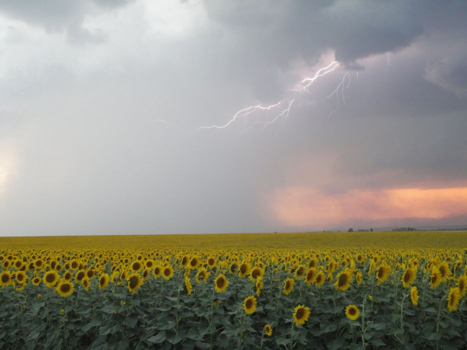 Ata Sot Bulgaria Sunflowers Summer Rain  wallpaper