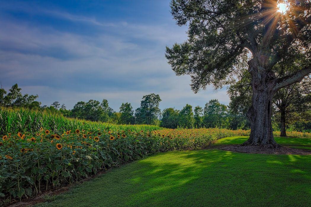 field polsolnuhi tree landscape sunflower wallpaper