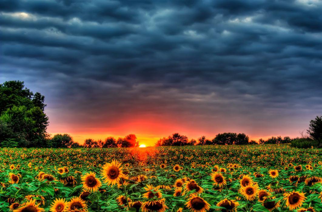 sunset field sunflower landscape wallpaper