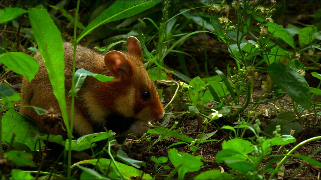 animal hamster mouse mice jungle forest wallpaper