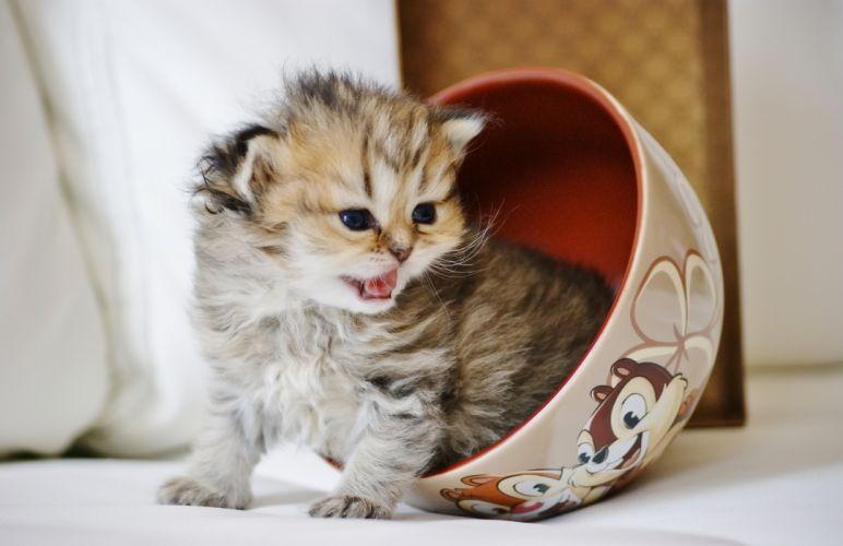 baby cat kitten wallpaper