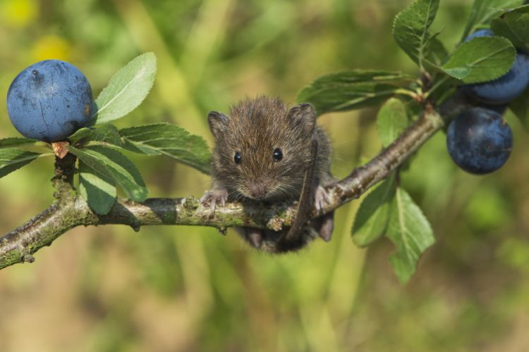 bank vole mouse rodent mice wallpaper