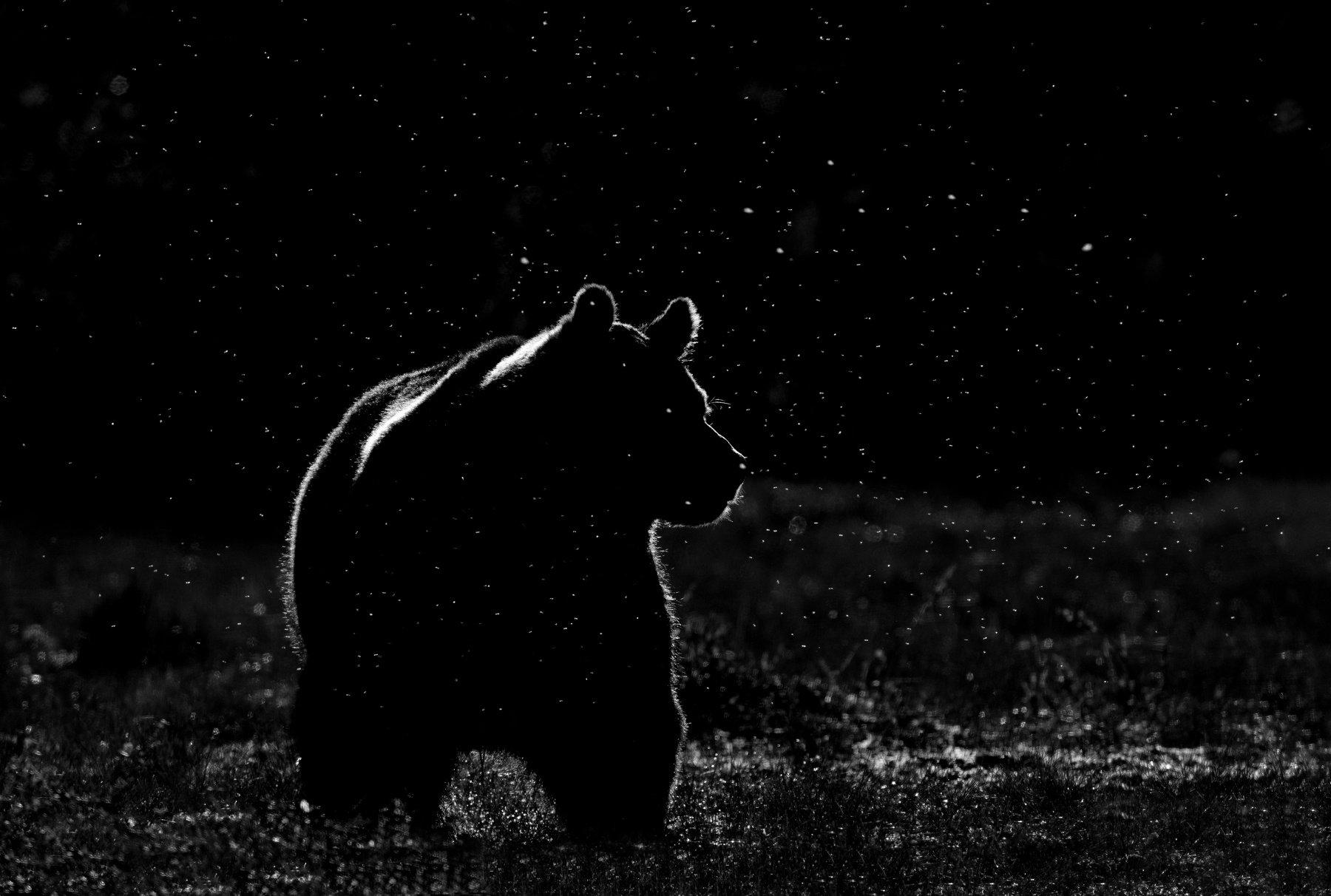 Черны медведь  № 3207606 загрузить