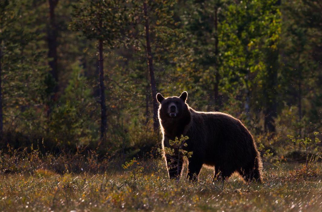 bear forest autumn wallpaper