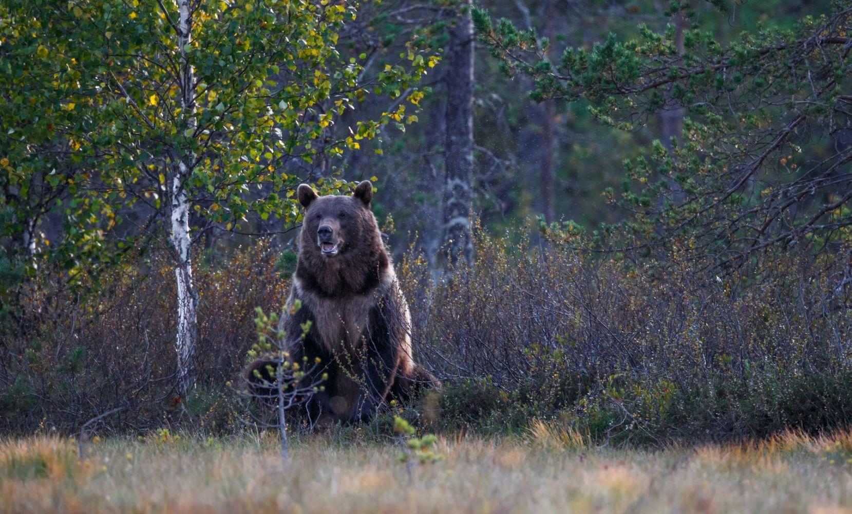 фото медведя в осеннем лесу время движения опорная