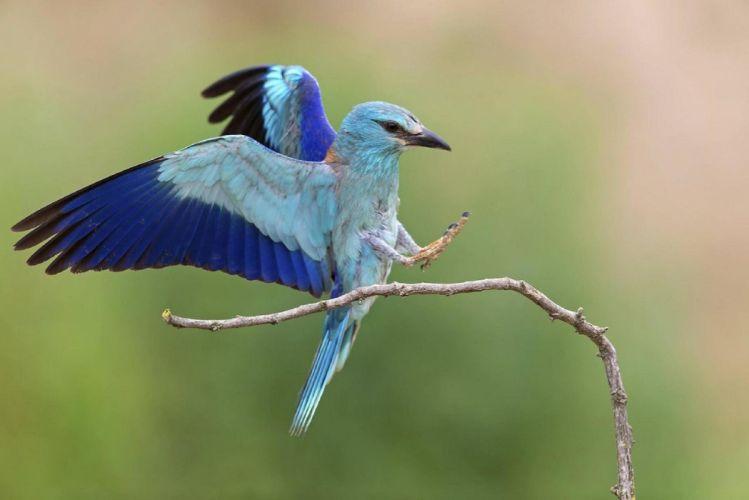 blue color braurake Japanese bird wallpaper