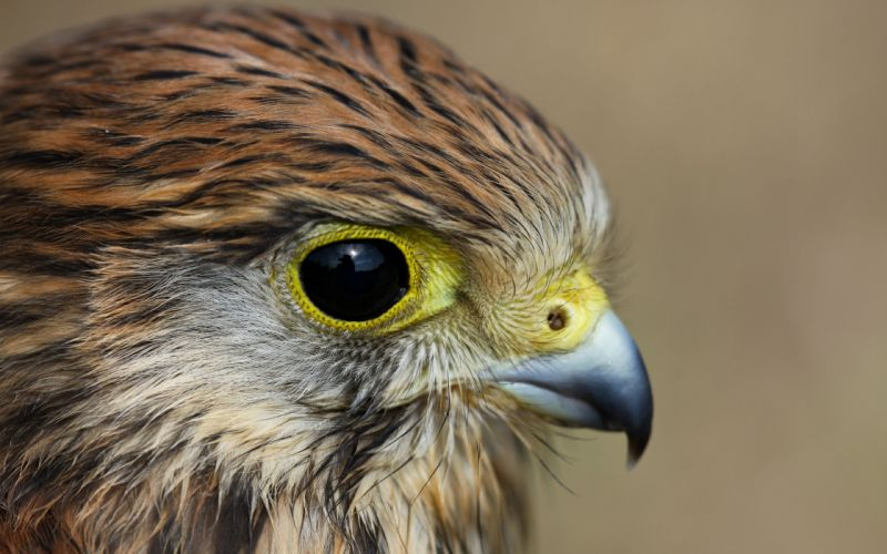 bird view kestrel profile wallpaper