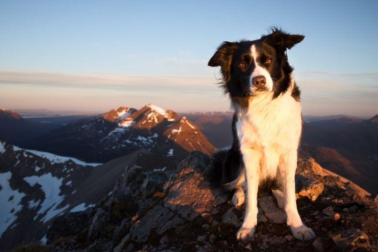 Border Collie dog joy mood mountains b wallpaper