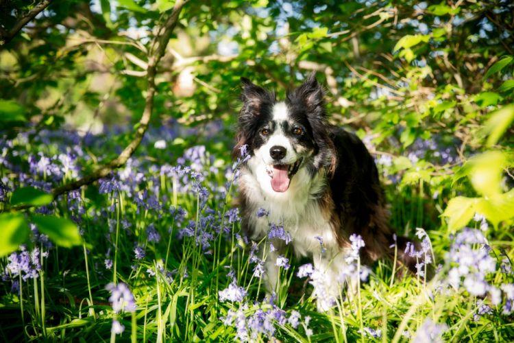 Border Collie dog flowers wallpaper